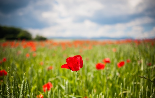 Picture greens, field, flowers, red, background, widescreen, Wallpaper, Tulip, blur, tulips, wallpaper, ears, flowers, flower, widescreen, …