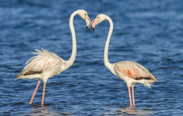 Picture water, birds, nature, pair, Flamingo