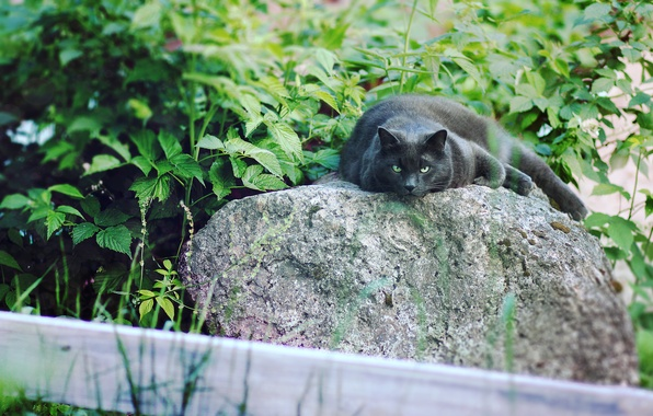 Picture cat, eyes, nature, black, cats, Panther, Cat, cat, meow, lazy, cat on the nature