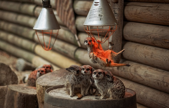 Picture lamp, meerkats, family