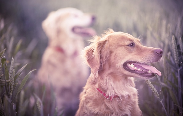 Picture field, dogs, grass, teeth, dog, mouth, hunting, ears, breed, Retriever