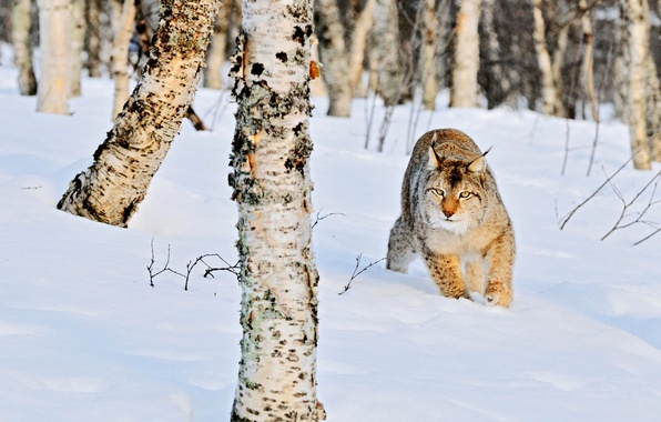 Picture winter, forest, cat, snow, nature, trunks, the snow, birch, lynx, grove, wild