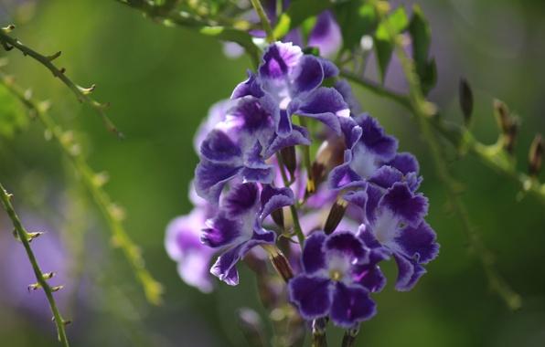 Picture macro, inflorescence, Duranta