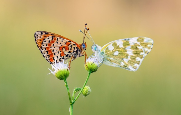 Picture flower, butterfly, insects, two