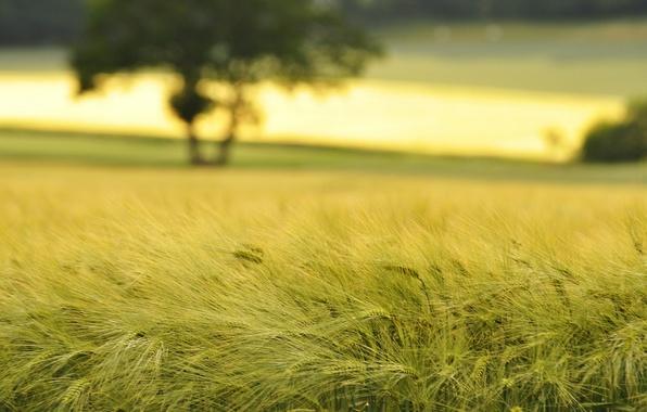 Picture wheat, field, macro, nature, field, spikelets, ears, spike