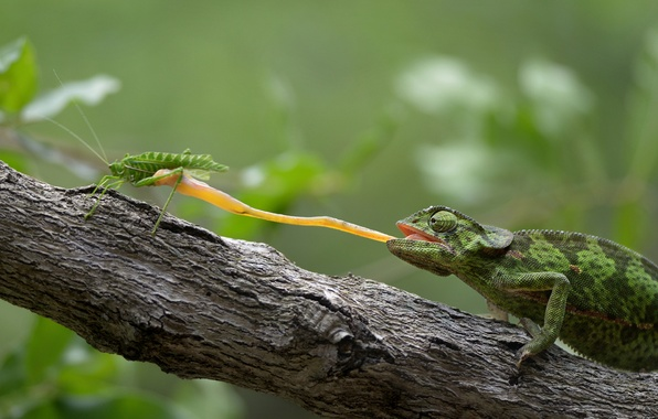 Picture food, grasshopper, South Africa, South Africa, The Kruger national Park, lizard Chameleon