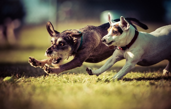 Picture dog, walk, the race