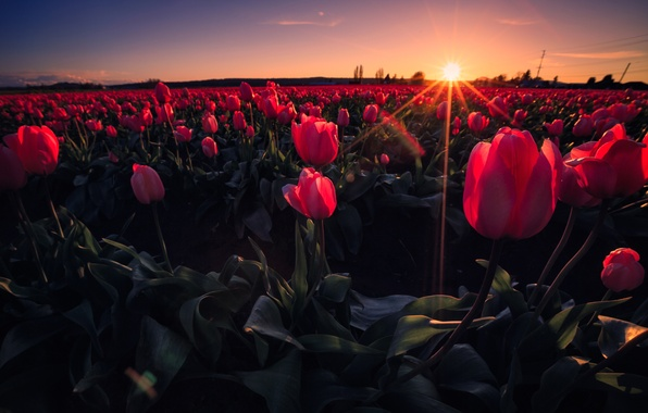 Picture field, the sky, rays, sunset, flowers, meadow, tulips