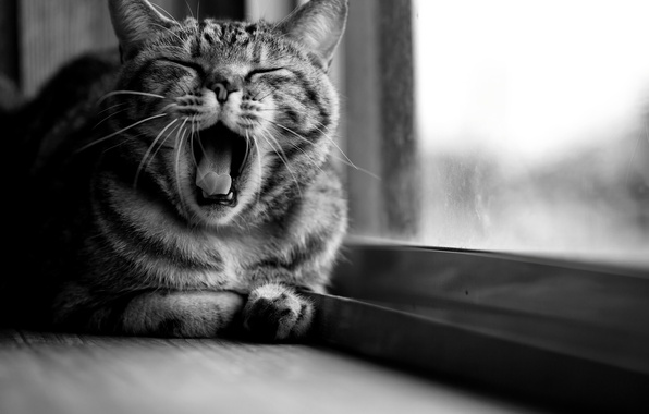 Picture cat, cat, window, black and white, sitting, yawns, striped