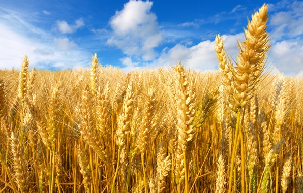Picture wheat, field, the sky, the sun, clouds, yellow, ears