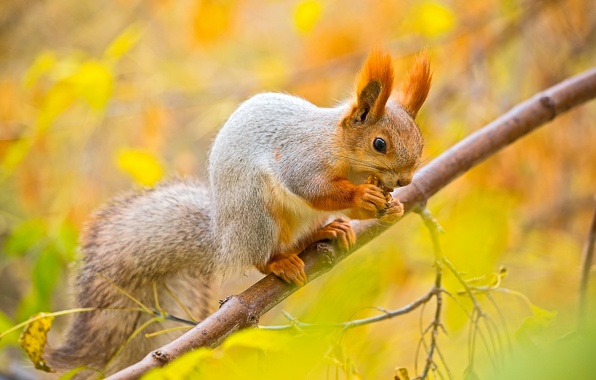 Picture autumn, leaves, macro, tree, branch, walnut, protein, squirrel