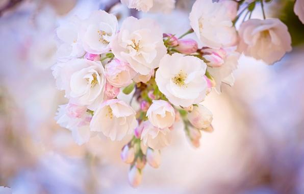 Picture macro, cherry, pink, branch, spring, blur, Sakura, flowering