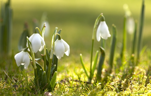 Picture flowers, nature, spring, snowdrops, flowering, primrose