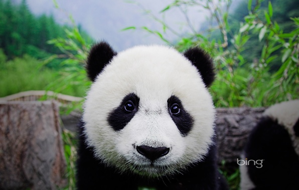 Picture Bear, Panda, Face