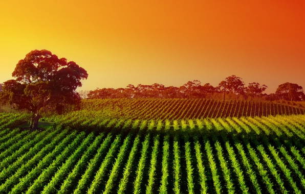 Picture trees, dawn, field, valley, Australia, plantation, Barossa Valley, Barossa