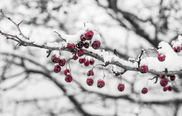 Picture cold, ice, winter, macro, snow, berries, branch