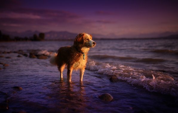 Picture sea, summer, look, sunset, nature, each, dog