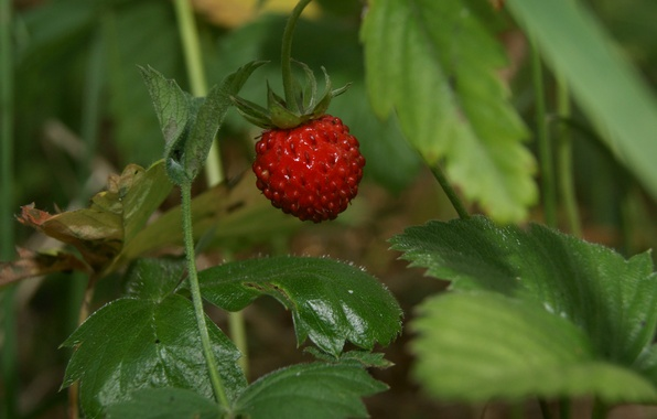 Picture leaves, strawberries, berry, red, Klubnika