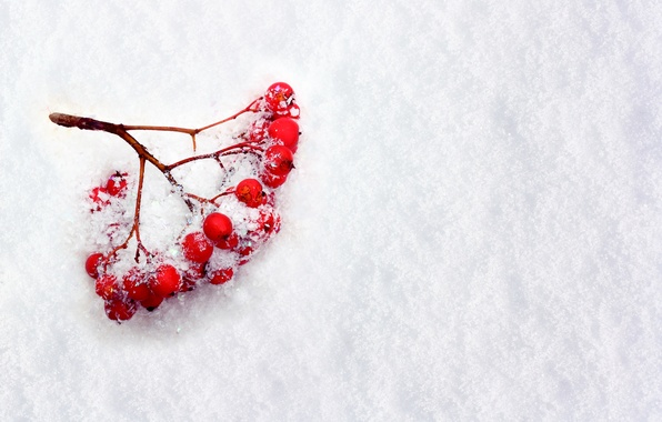 Picture winter, snow, berries, branch, Rowan