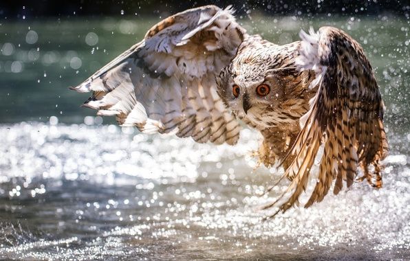 Picture water, owl, wings, the rise, bokeh