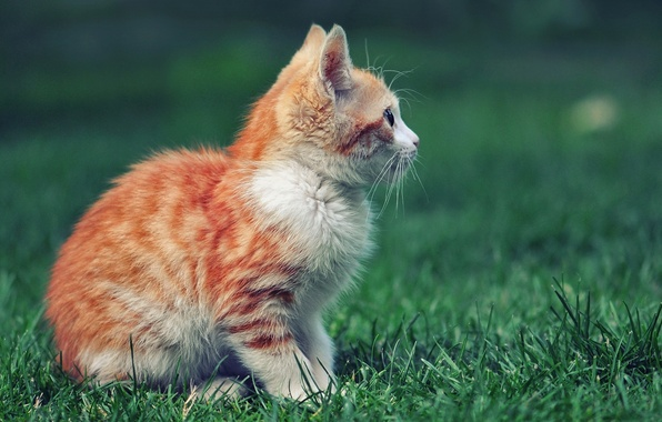 Picture grass, red, profile, kitty, sitting, looks