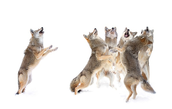 Picture winter, snow, predators, pack, wolves