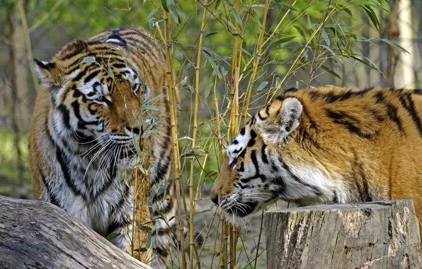 Picture cats, tiger, Bush, stump, bamboo, pair, profile, Amur
