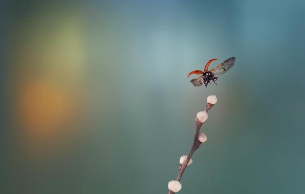 Picture ladybug, branch, Verba, in flight