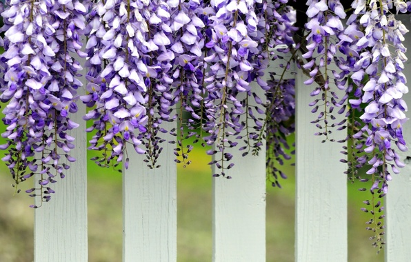 Picture white, the fence, purple, hanging, flowers. Wisteria