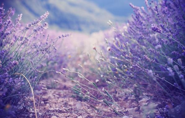 Picture lilac, the bushes, lavender, lavender