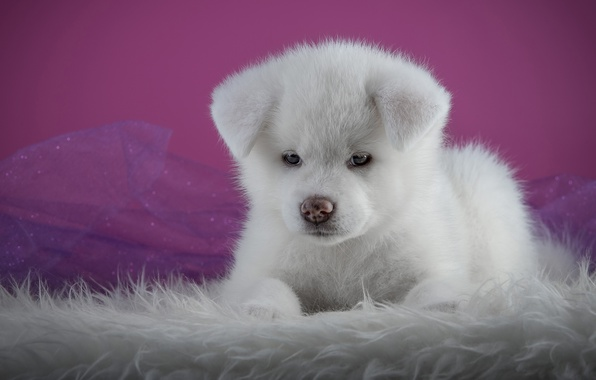 Picture white, background, pink, portrait, dog, puppy, lies, fur, face, photoshoot, friendly, Akita inu, Akita, organza