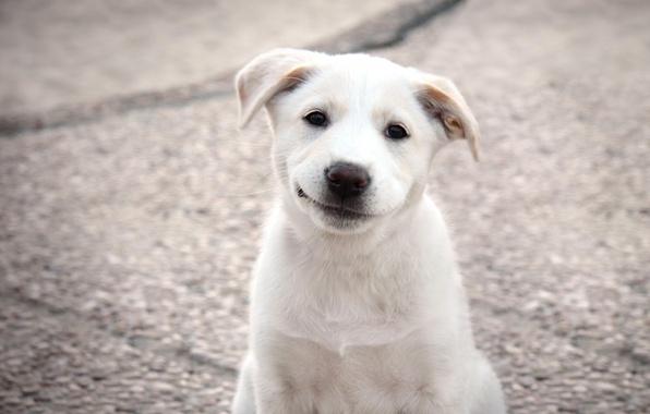Picture dog, puppy, Labrador, puppy, labrador