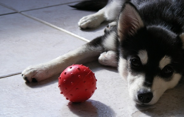 Picture look, the ball, dog, dog, puppy, the ball, husky
