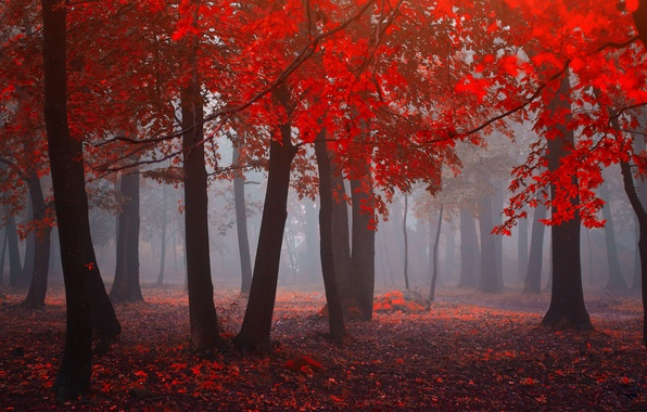 Picture forest, leaves, fog, forest, leaves, fog, red forest, red forest