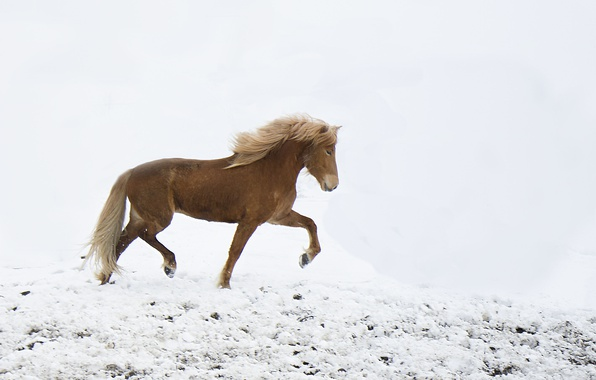 Picture freedom, winter, snow, horse, wind, freeze, wildlife, frost
