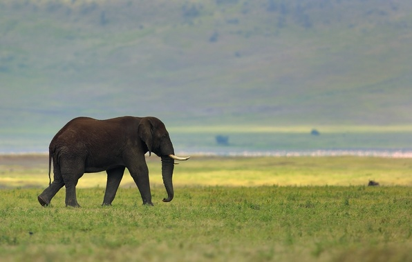 Picture nature, background, elephant