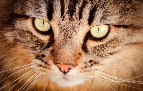 Picture cat, mustache, look, pet