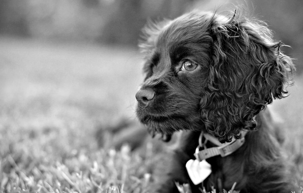 Picture grass, look, black and white, dog, dog, sad eyes