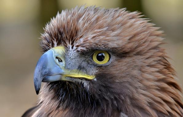 Picture eyes, bird, predator, beak, eagle, tail