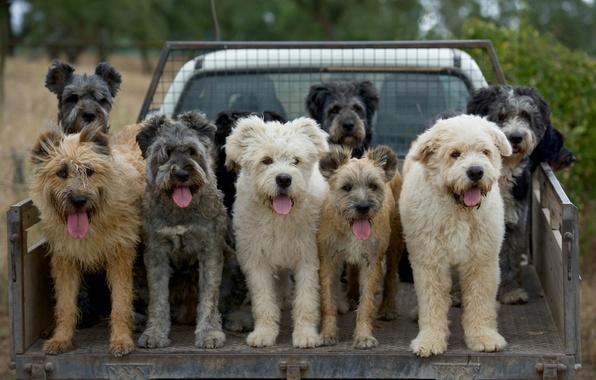 Picture machine, dogs, truck, languages, body, cattle dog, Barbudo de Terceira, Barbado da Terceira