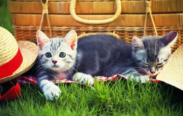 Picture grass, cats, kitty, hat, grass, picnic, hat, kitten, cats, picnic