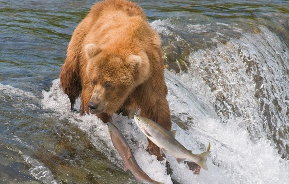 Picture water, fish, river, bear, hunting, grizzly, fishing, salmon
