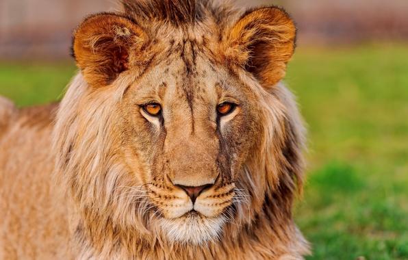 Picture mustache, look, face, Leo, ears, lion, handsome, Asian, panthera leo, fufik, pufik