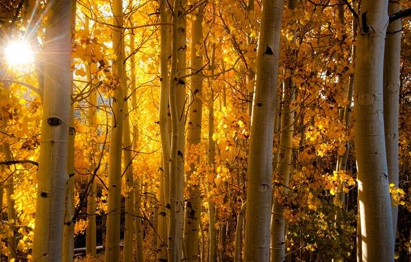Picture autumn, forest, leaves, rays, light, Colorado, trunk, USA, aspen, Aspen