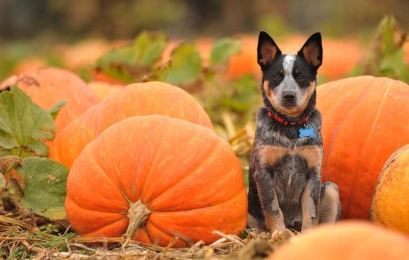 Picture field, look, dog, pumpkin, orange