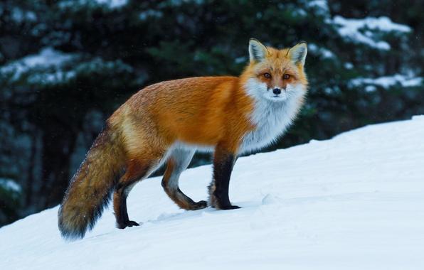 Picture winter, snow, Fox, red, Fox