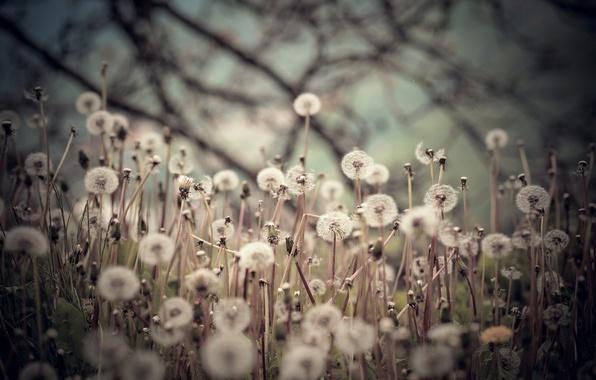 Picture field, background, dandelions