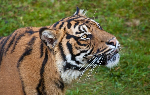 Picture cat, look, face, tiger