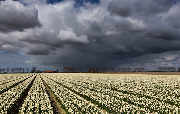 Picture field, the sky, landscape, clouds, tulips