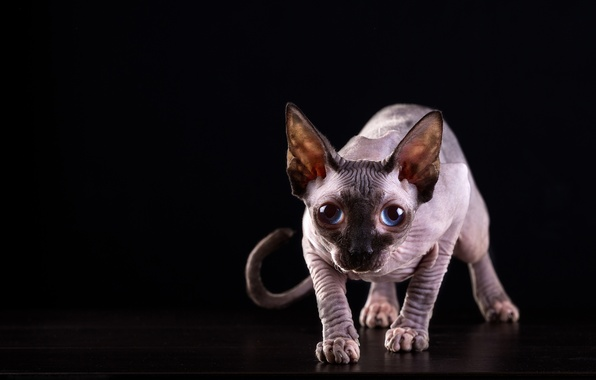 Picture cat, cat, look, muzzle, blue eyes, black background, Sphinx